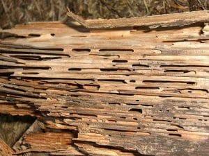 rayap kayu kering