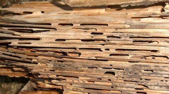 Cara basmi rayap kayu kering dengan cepat dan mudah.